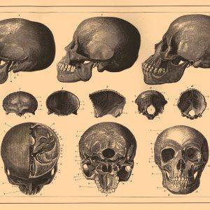 Cuadro vintage anatomia de las calaveras